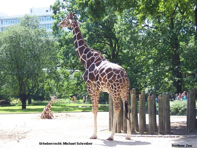 Berliner Zoo Giraffe