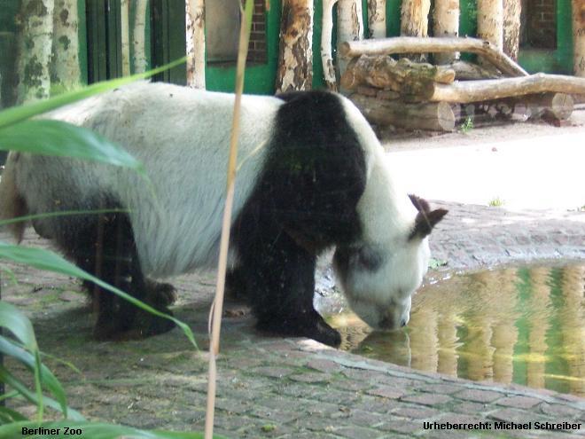 Berliner Zoo Panda