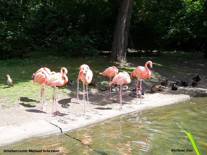 Berliner Zoo Flamingos