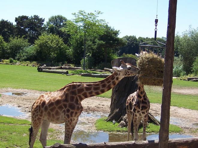 Giraffen Leipziger Zoo